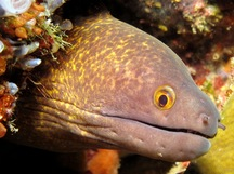 Yellowmargin Moray Eel - Gymnothorax flavimarginatus