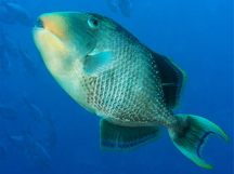 Yellowmargin Triggerfish - Pseudobalistes flavimarginatus