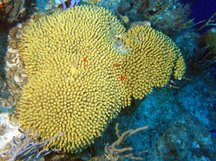 Yellow Pencil Coral - Madracis mirabilis