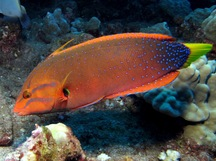 Yellowtail Coris - Coris gaimard