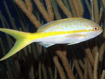 Yellowtail Snapper - Ocyurus chrysurus