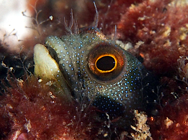 Mexican Barnacle blenny - Acanthemblemaria macrospilus - Cabo San Lucas, Mexico