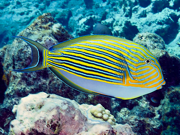 Striped Surgeonfish - Acanthurus lineatus - Great Barrier Reef, Australia