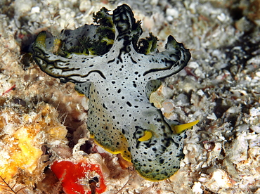 Gray Norse God Nudibranch - Aegires serenae - Palau
