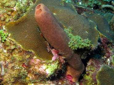 Tubulate Sponge - Agelas tubulata - Belize