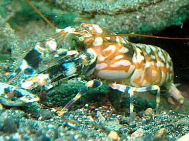 Tiger Snapping Shrimp - Alpheus bellulus - Lembeh Strait, Indonesia