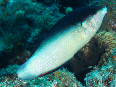 New Guinea Wrasse - Anampses neoguinaicus - Great Barrier Reef, Australia