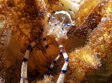 Graceful Anemone Shrimp - Ancylomenes venustus - Lembeh Strait, Indonesia