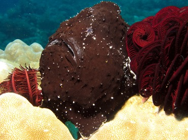 Giant Frogfish - Antennarius commerson - Dumaguete, Philippines