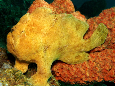 Giant Frogfish - Antennarius commerson - Lembeh Strait, Indonesia