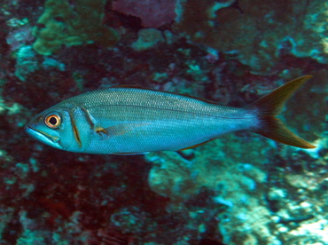 Smalltoothed Jobfish - Aphareus furca - Big Island, Hawaii