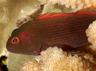 Arc-Eye Hawkfish - Paracirrhites arcatus - Big Island, Hawaii