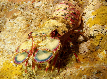 Small Spanish Lobster - Arctides guineensis - The Exumas, Bahamas