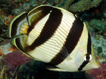 Banded Butterflyfish - Chaetodon striatus - Cozumel, Mexico