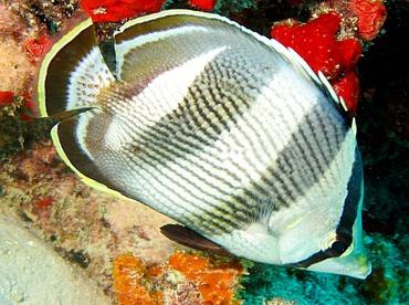 Banded Butterflyfish - Chaetodon striatus - Aruba