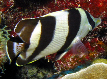 Banded Butterflyfish - Chaetodon striatus - Belize