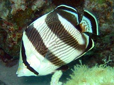 Banded Butterflyfish - Chaetodon striatus - Key Largo, Florida