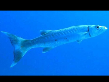 Great Barracuda - Sphyraena barracuda - Little Cayman