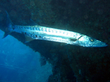 Great Barracuda - Sphyraena barracuda - Key Largo, Florida