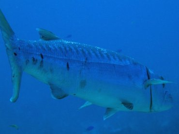 Great Barracuda - Sphyraena barracuda - Turks and Caicos