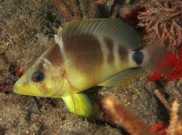 Barred Hamlet - Hypoplectrus puella - Palm Beach, Florida