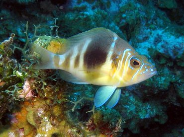 Barred Hamlet - Hypoplectrus puella - Grand Cayman