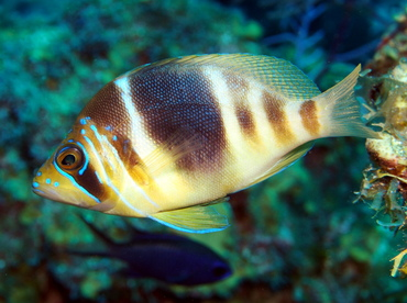 Barred Hamlet - Hypoplectrus puella - Turks and Caicos