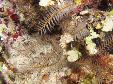 Beaded Crinoid - Davidaster discoidea - Turks and Caicos