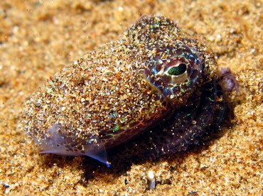Berry's Bobtail Squid - Euprymna berryi - Dumaguete, Philippines