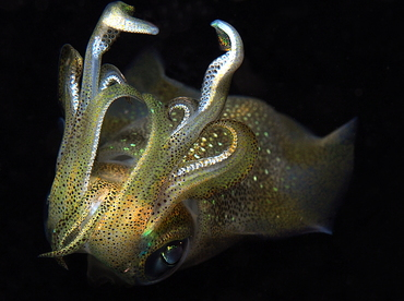 Bigfin Reef Squid - Sepioteuthis lessoniana - Anilao, Philippines