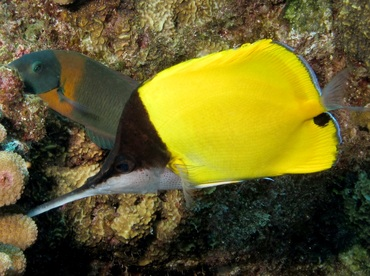 Big longnose butterflyfish forcipiger longirostris for Big nose fish
