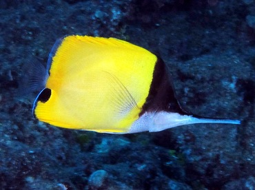 Big Longnose Butterflyfish - Forcipiger longirostris - Lanai, Hawaii