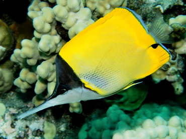 Big Longnose Butterflyfish - Forcipiger longirostris - Big Island, Hawaii