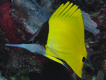 Big Longnose Butterflyfish - Forcipiger longirostris - Great Barrier Reef, Australia