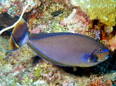 Bignose Unicornfish - Naso vlamingii - Palau