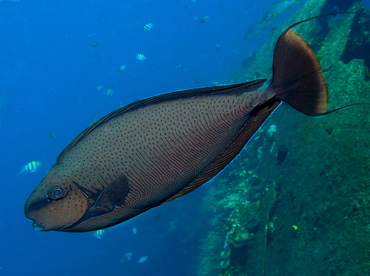 Bignose unicornfish naso vlamingii surgeonfishes for Big nose fish