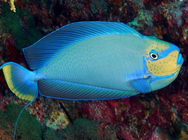 Bignose Unicornfish Naso Vlamingii Surgeonfishes Vlamings