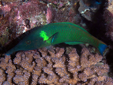 Pacific Bird Wrasse - Gomphosus varius - Great Barrier Reef, Australia