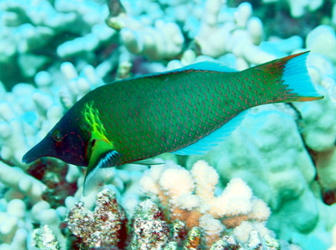 Pacific Bird Wrasse - Gomphosus varius - Big Island, Hawaii