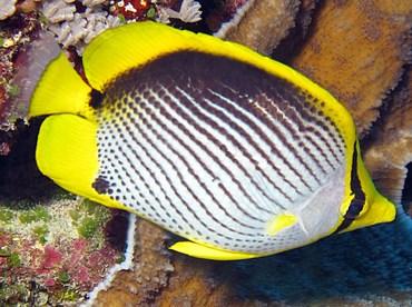 Black-Backed Butterflyfish - Chaetodon melannotus - Yap, Micronesia