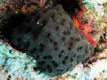 Black Condominium Tunicate Eudistoma Obscuratum