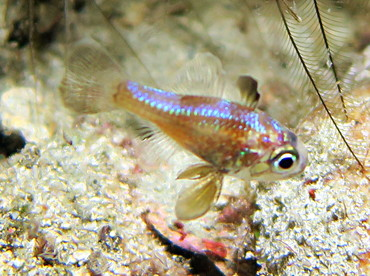 Blackfin Cardinalfish - Astrapogon puncticulatus - Palm Beach, Florida