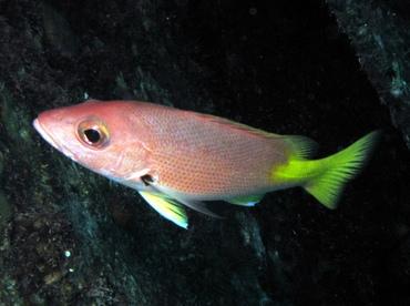 black fin snapper depth for fishing