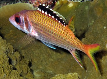 Blackfin Squirrelfish - Neoniphon opercularis - Palau