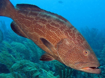 Black Grouper - Mycteroperca bonaci - Belize