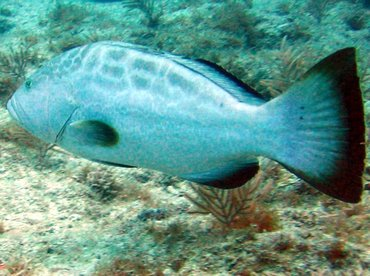 Black Grouper - Mycteroperca bonaci - Key Largo, Florida