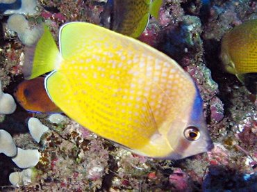 Blacklip Butterflyfish - Chaetodon kleinii - Lanai, Hawaii