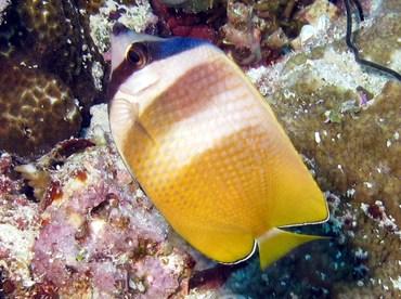 Blacklip Butterflyfish - Chaetodon kleinii - Palau