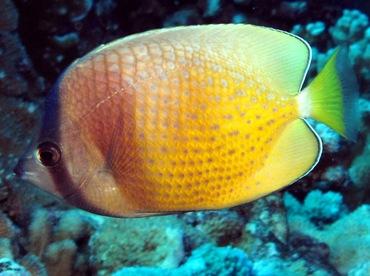 Blacklip Butterflyfish - Chaetodon kleinii - Maui, Hawaii
