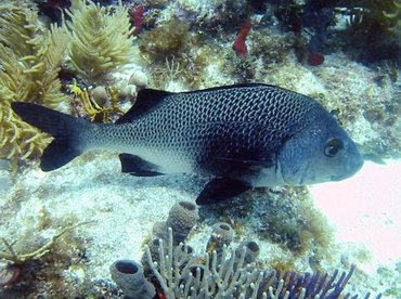 Black Margate - Anisotremus surinamensis - Key West, Florida